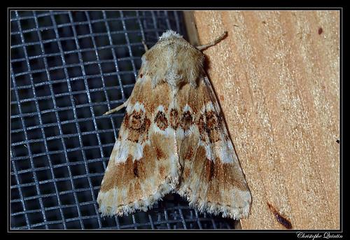 Noctuelle jaunâtre (Eremobia ochroleuca)
