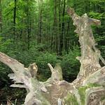 Wurzel eines umgestürzten Baumes im Oefter Tal