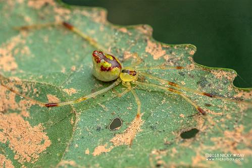 Mirror spider (Thwaitesia sp.) - DSC_9373 | by nickybay
