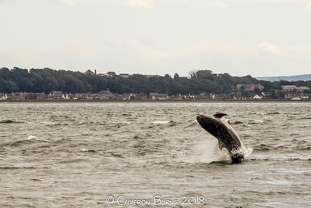 Bottlenose Dolphins (IMG_1739)