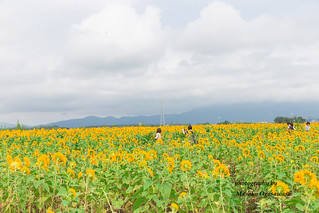 sunflower fields at the Akeno Sunflower Festival | by yumehana