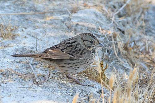 avian bird birds california ebrpd eastbayregionalparks nature outdoors pointpinole pointpinoleregionalshoreline ptpinole sparrow wildlife ebparksok lincolnssparrow melospizalincolnii bruantdelincoln