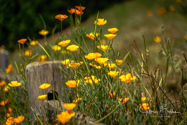 California Poppies-970777