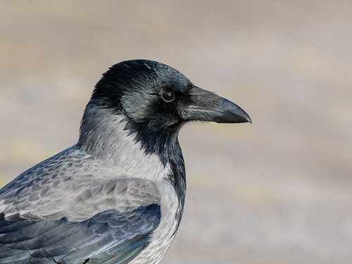 Hooded Crow | by angus molyneux