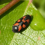 Gemeine Blutzikade (Red-and black Froghopper, Cercopis vulnerata)