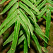Ladder Fern - Photo (c) Cabo Neri, some rights reserved (CC BY-NC-ND)