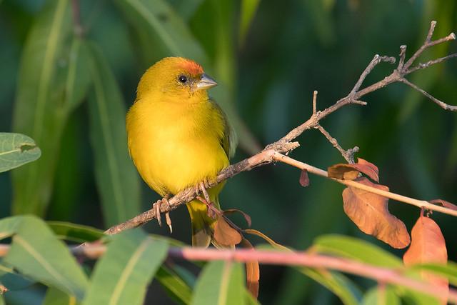 Orange-fronted Yellow Finch (Sicalis columbiana)