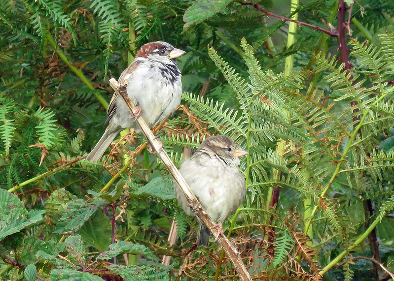 House Sparrow - Passer domesticus