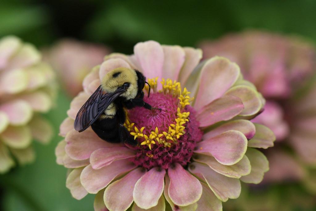 Bee in Zinnia