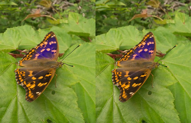 Apatura metis, stereo parallel view