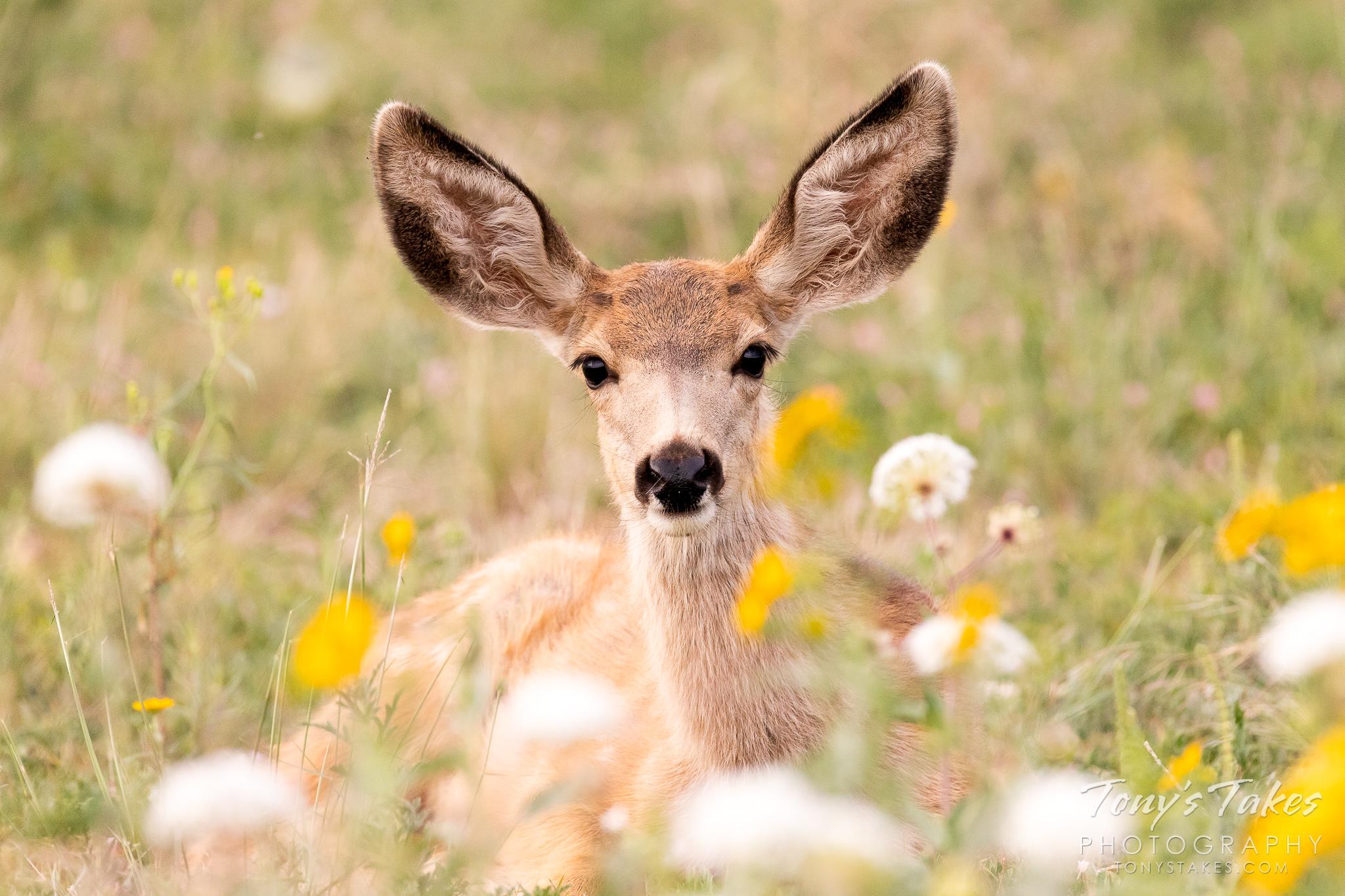 Precious Mule Deer fawn among wildflowers