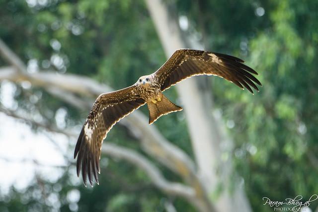 Black Kite (PB2_3044)