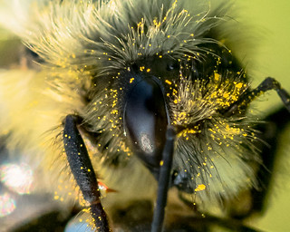 Bee Mullet | by Manns Woodland Perspective
