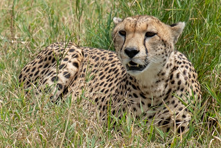 Mother cheetah | by Laura Jacobsen