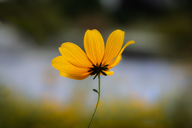 Coreopsis of the Sunflower Family