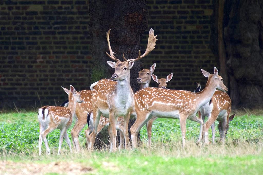 """""""Sticking together..."""" Fallow Deer - Taken at Royal Greenwich Park, London. UK"""