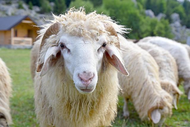 znatiželjna ovca / curious sheep