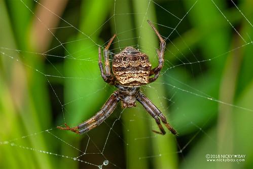Orb weaver spider (cf. Gea sp.) - DSC_7979 | by nickybay