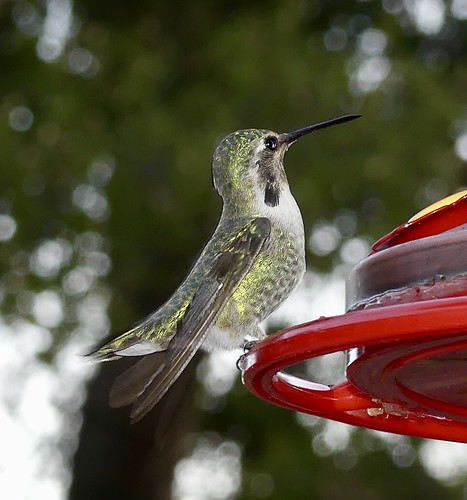feeder food eating perched bird hummingbird costas costashummingbird 500 views summer2018 summer summertime2018 nature2018 birdinginsummer summerbirding costahummingbird