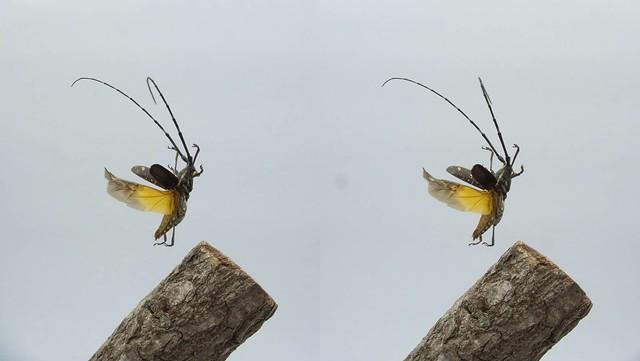 Psacothea hilaris, stereo cross view