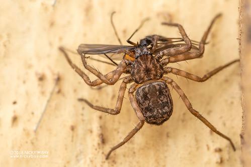 Flatty spider (Hovops sp.) - DSC_2086 | by nickybay