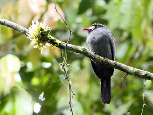 Monjita Cantora, White-fronted Nunbird (Monasa morphoeus)