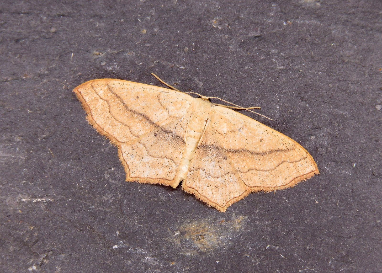 70.024 Small Blood-vein- Scopula imitaria