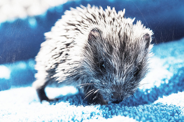 Wild Hedgehog rescue hoglet getting some exercise