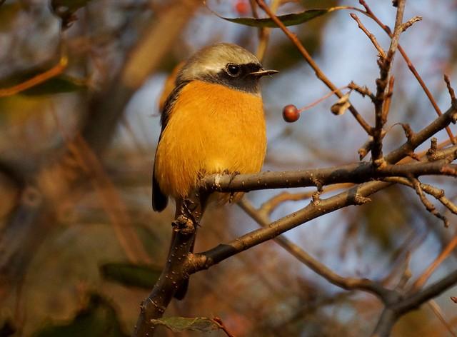 Daurian Redstart, Phoenicurus auroreus, Сибирская горихвостка