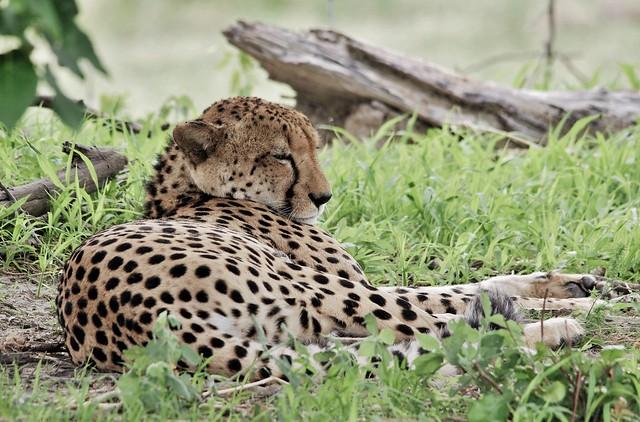 Cheetah Sleeping In The Shade Of  A Tree  (Acinonyx jubatus jubatus)