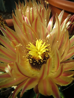 Ferocactus sp. | by Umadeave