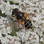 Garten-Keilfleckschwebfliege (Garten Hoverfly, Eristalis lineata)