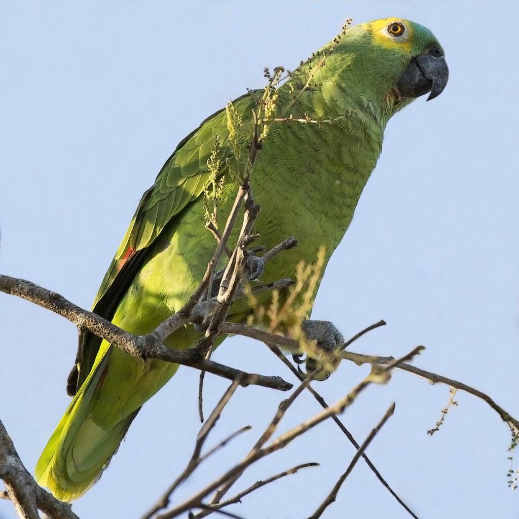 Orange-winged Amazon (Amazona amazonica) 1 071818