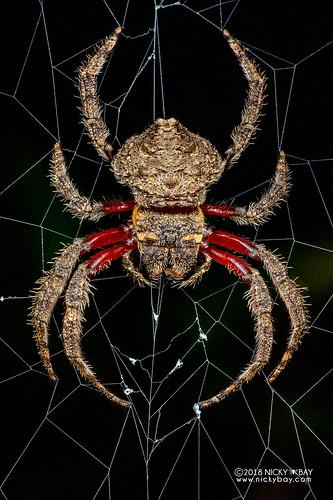 Broad-headed bark spider (Caerostris almae) - DSC_8897b | by nickybay