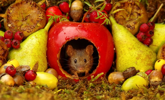 wild mouse inside a apple with Autumn fruits  (2)