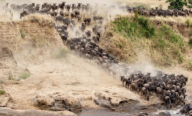 Wildebeest crossing the Talek at Entim Camp, Maasai Mara