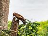 African Harrier-Hawk/Polyboroides typus by odileva