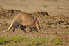 the elusive Aardvark by cirdantravels (Fons Buts)