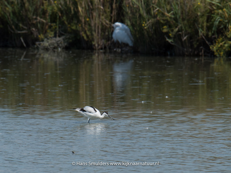 Kluut (Recurvirostra avosetta)-818_5989