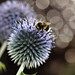 <p>Echinops Ritro<br /> <br /> Scotland, UK</p>
