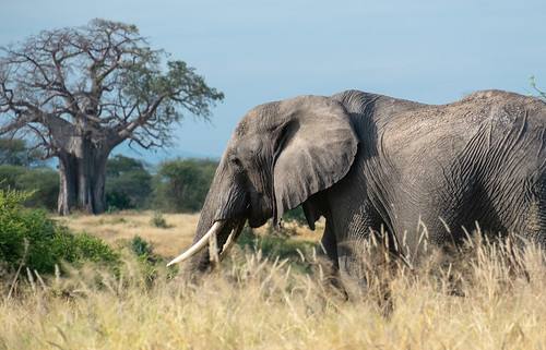 Tusker. Tarangire | by Laura Jacobsen