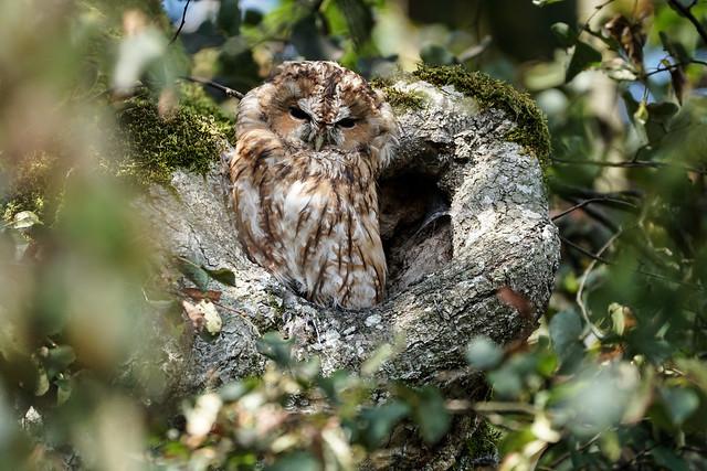 Waldkauz / tawny owl / Strix aluco