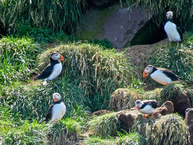 Day 9 - More Puffins on Gull Island