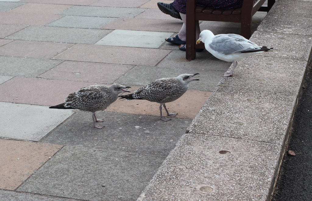 Gulls at Teignmouth   | Seagulls , breed unknown to me at Te