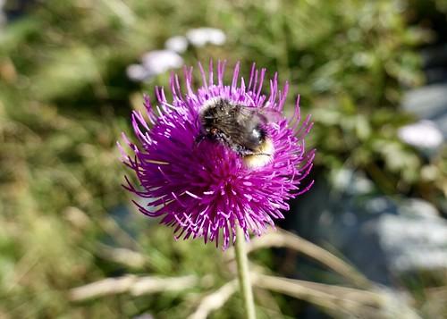 Bumblebee on thistle | by danlmarmot