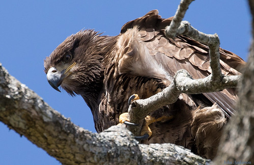 goldeneagle eagle nanaimoriverestuary raptors