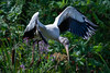 Wood Stork by mathurinmalby