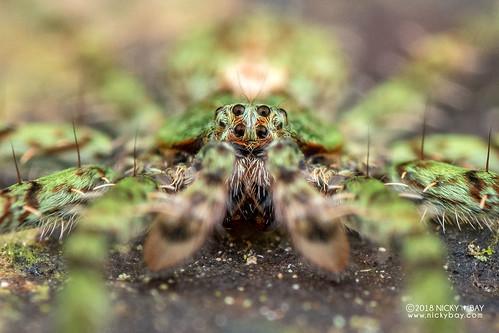 Green wandering spider (Viridasiidae) - DSC_9816 | by nickybay