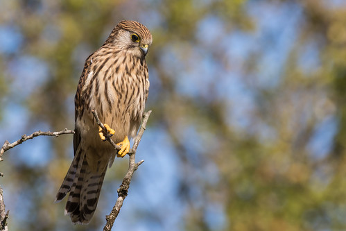 Kestrel scouting for insects | by PINNACLE PHOTO