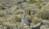 Patagonian Tinamou - Argentina by Collaertsbrothers